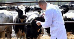 """""""أونسا"""" تنظم حملة وطنية لتلقيح الأبقار والأغنام ضد الأمراض"""