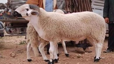 صورة أخنوش يتحدث عن إجراءات عيد الأضحى