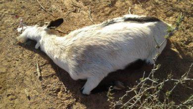 صورة نفوق 200 رأس من الماعز نواحي ورزازات